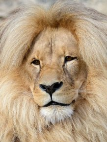 Leon The Lion Likes To Flaunt His Mane For All The World To See