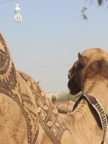 Camels Are Getting Cool Haircuts Courtesy Of Barbers In Pakistan