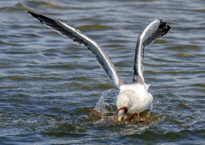 Rare Photos Of A Seagull Hunting An Octopus