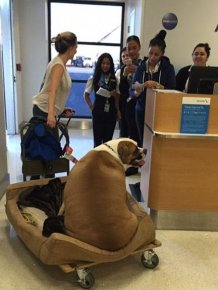 Obese Dog Wheeled Onto An American Airlines Flight So He Can Travel First Class