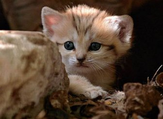 Sand Cat Kittens