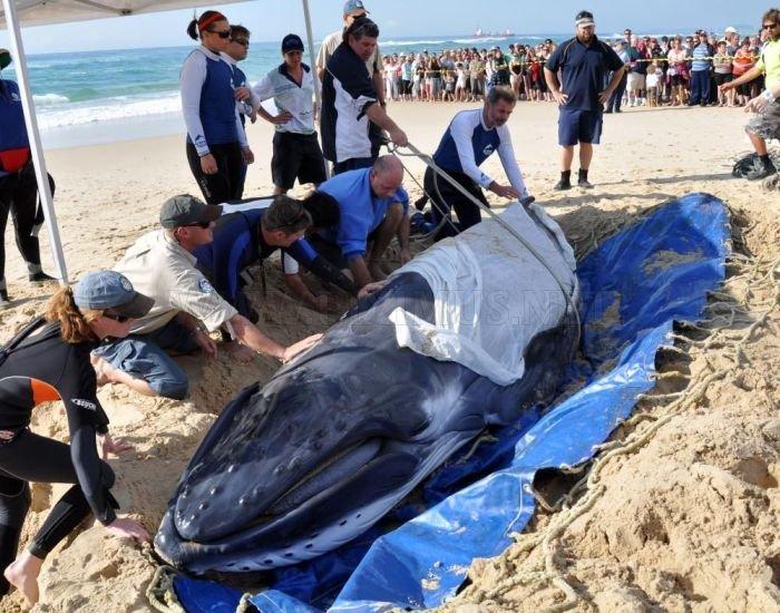 Saving a Baby Humpback Whale