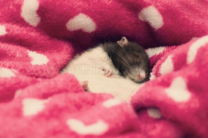 Bug is the Cutest Rat on the Net