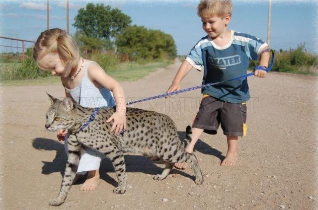 The Huge Domesticated Savannah Cat