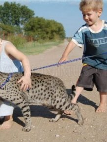 The Huge Domesticated Savannah Cat
