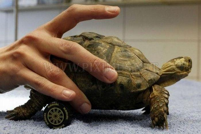 Wheelchair for a Turtle