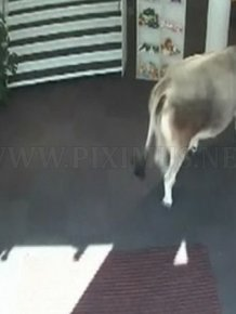 Cow Walks Through Clothing Store in Austria