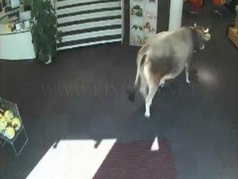 Cow Walks Through Clothing Store in Austria