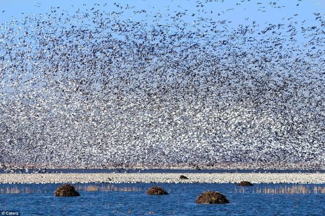 1,3 million of birds in one place.