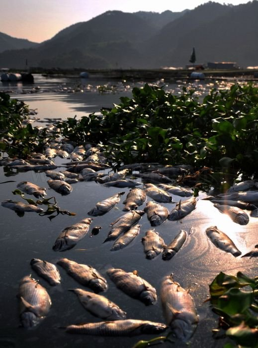 Mass Fish Death in China
