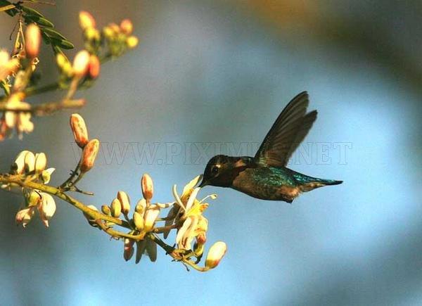 Bee Hummingbird - The smallest bird in the World