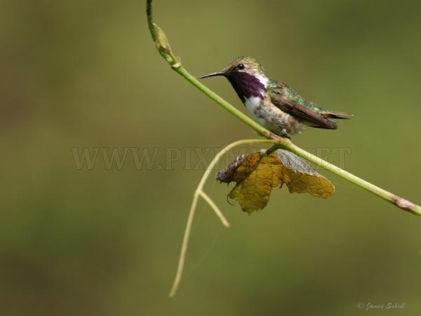 Bee Hummingbird The Smallest Bird In The World Animals