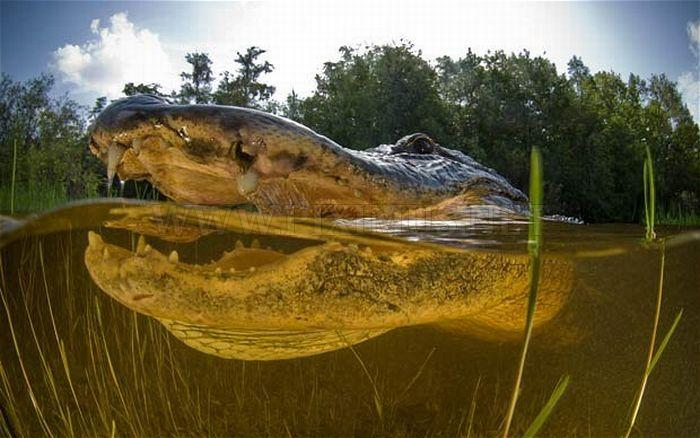 Close-up Underwater Snaps of an American Alligator
