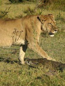 Three Lionesses vs Crocodile