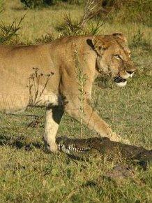 Three Lionesses vs Crocodile