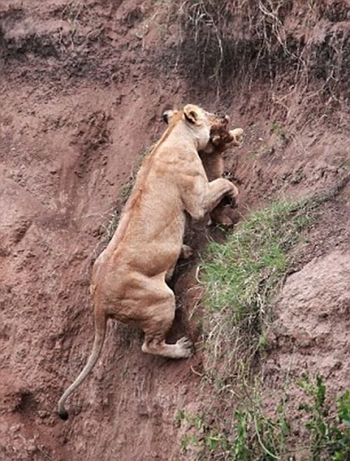 Lion Cub Saved by Lioness
