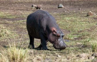 Antelope Saved by a Hippo