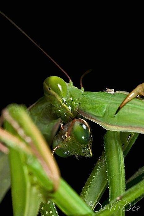 Female Praying Mantis Kills Her Partner