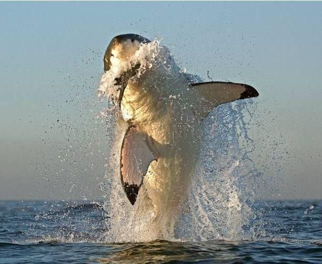 great white shark on a hunt animals