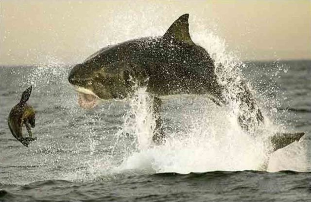 Great white shark on a hunt