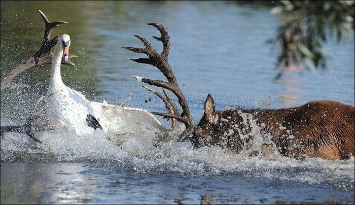 Deer vs Swan Fight