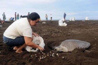 Collecting Sea Turtle Eggs in Costa Rica