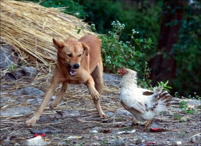 Don't Mess with Chickens