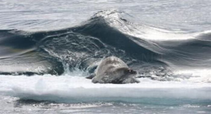 No Chance for the Seal