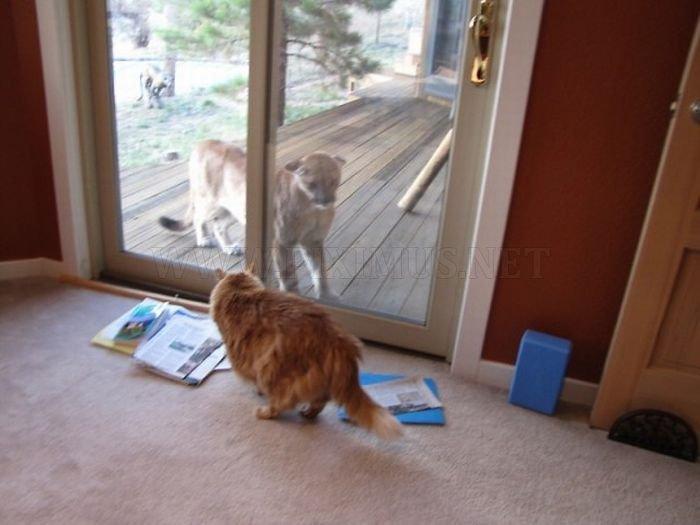 Cat vs βουνό λιοντάρι