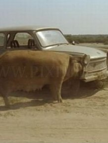 Pig Eating a Car