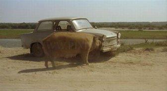 Pig Eating a Car