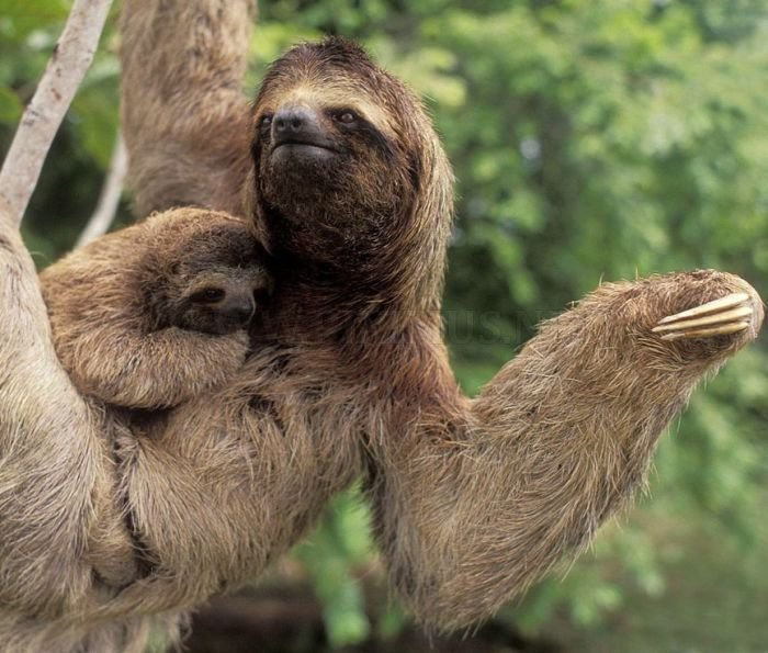 funny looking sloths