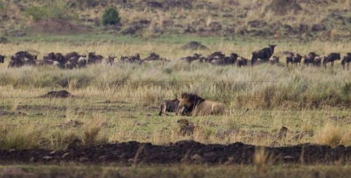 A Little Brave Wildebeest
