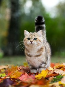 British Shorthair Cat in a Fall Mood