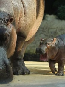 Baby Hippo and Its Mom in Berlin Zoo