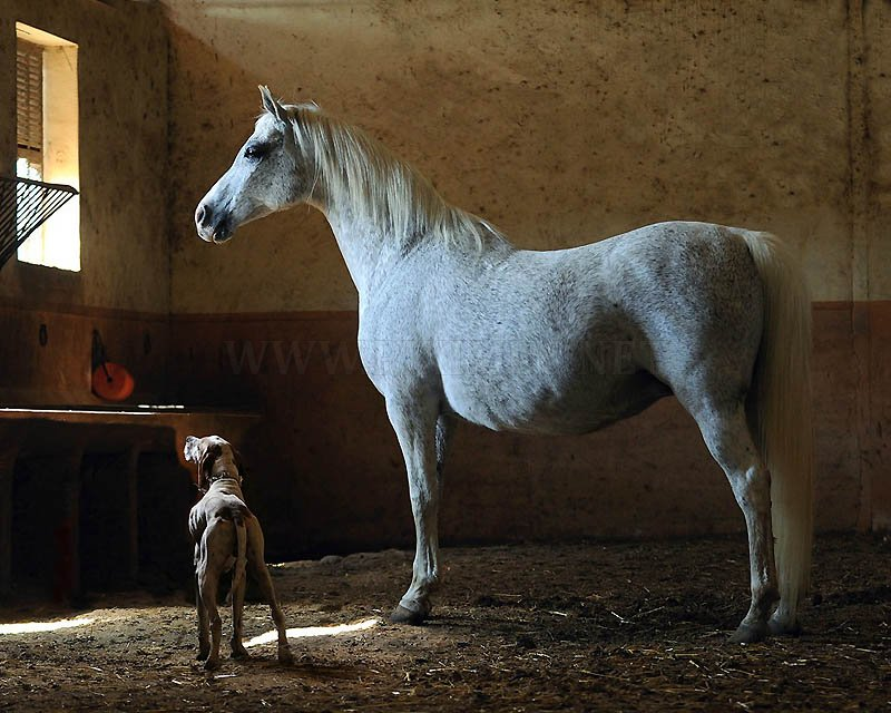Arab and Andalusian horse