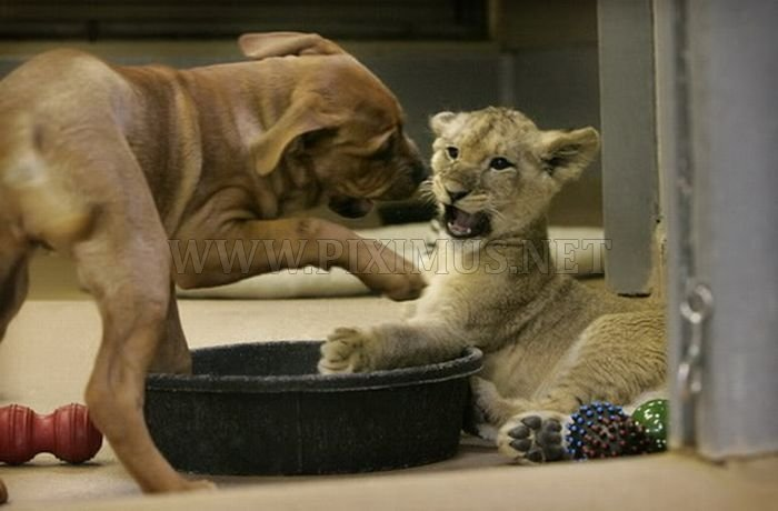 Baby lion wrestling with dog