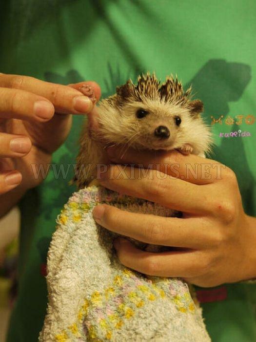 Hedgehogs taking bath