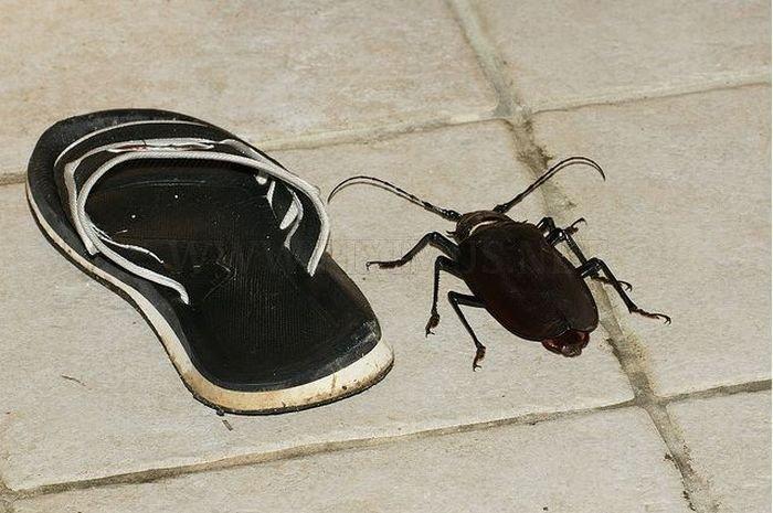 A huge beetle