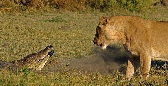 Alligator vs Lions