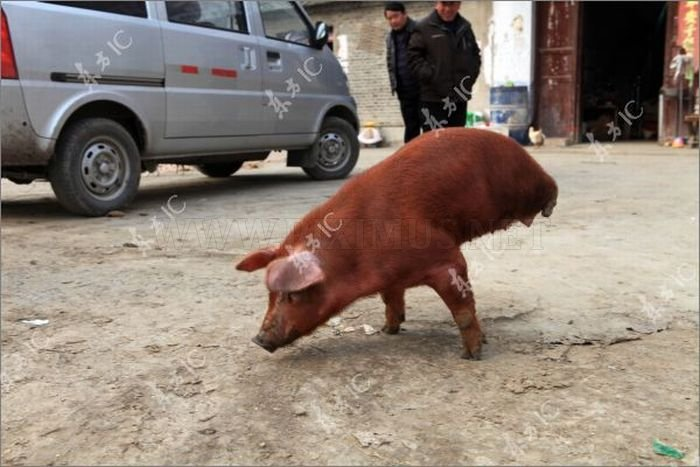 Disabled Pig Learned to Walk on Two Legs