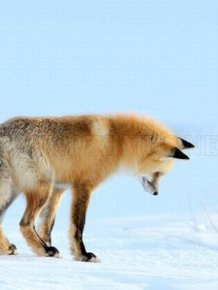 A Fox is Hunting for a Mouse in Yellowstone Park