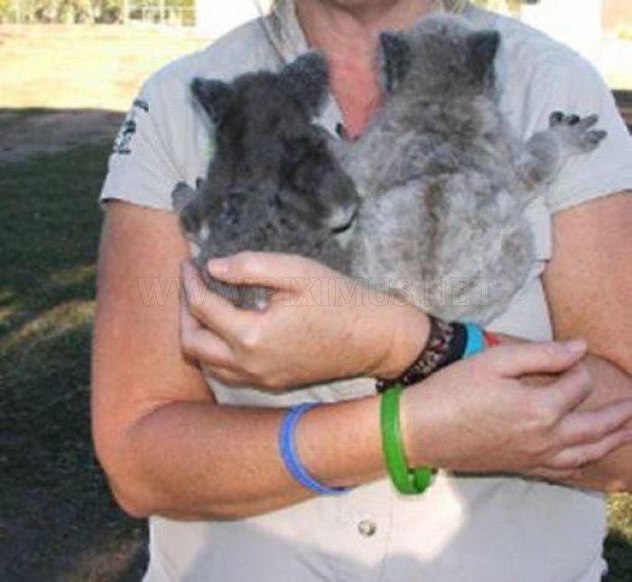 Rescued Baby Koalas