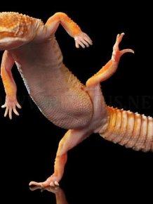 Dancing Geckos