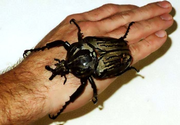 Giant Insects