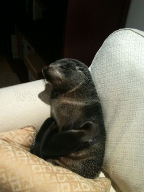 Baby Seal Occupies a House