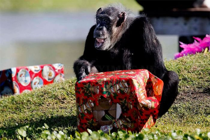 Christmas Presents for Chimps