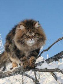 Siberian Cat Amur Ezra