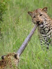 Python Caught by Two Leopards
