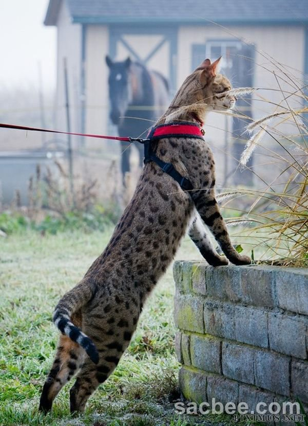 The Tallest Cat in the World